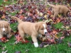 Rivers, Pups in the leaves 7 weeks