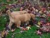 Rivers, Pups walking by 6 weeks