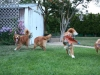Red dogs having fun