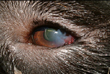 Images Of Eye Diseases In Dogs